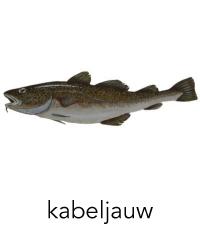 kabeljauw1