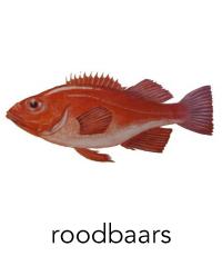 roodbaars1