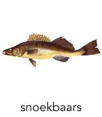 snoekbaars1
