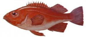 roodbaars2